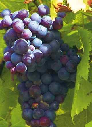 Traubenrebe aus dem der Wein gemacht wird